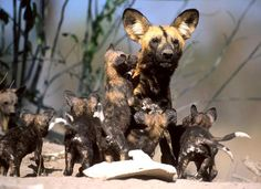 African Wild Dog mother ~ African Wild Dogs or Painted Dogs, are unique in the animal world, they will leave a few females with the cubs to take care of them while the rest go on a hunt. The unique part is, they will bring back food for the individuals that didn't go on the hunt!
