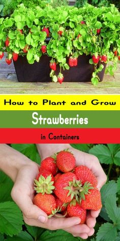 Growing Vegetables how to grow strawberries in a pot - Flowers aren t the only plants you can grow in containers Growing strawberries in containers is easy and an fun way to interest and color to a small space Strawberry Garden, Fruit Garden, Edible Garden, Easy Garden, Potted Plants, Potted Garden, Porch Garden, Fruit Plants, Herb Garden