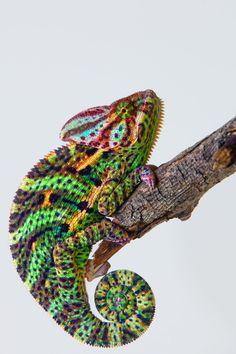 beautiful colorful chameleon