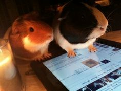 Did you know that piggies can use an iPad?