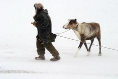 "Expedition ""Paris - New York Transcontinental"": Rentier-Nomaden in Tschukotka New York, Paris, Horses, Adventure, Animals, Reindeer, Xmas, Animales, New York City"