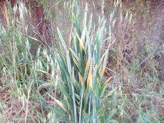 O trigo o avena no se, ha salido solo.