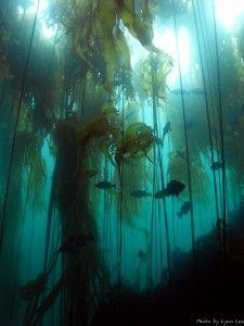 Pacific Ocean Bull Kelp Forest, Gwaii Haanas, Haida Gwaii, Queen Charlotte Islands