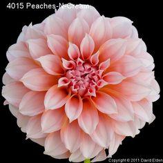 Peaches N Cream Dahlia David Elden's dahlias