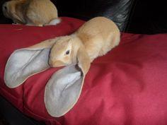 Conejo de orejas caídas
