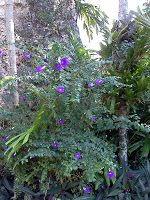 Thunbergia (Thunbergia Erecta) Hedge grows up to 6ft. Does well in part shade. Purple flower or white flower. (like the plants at Boca Pointe villa)