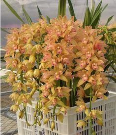 300 pcs 5 kinds Chinese cymbidium seeds bonsai garden flower seed orchid semente decorative flowers rare