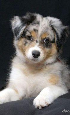 Mini Australian Shepherds, Australian Shepherd Puppies, Aussie Puppies, Cute Dogs And Puppies, Baby Dogs, Doggies, Corgi Puppies, Puppies Stuff, Aussie Shepherd