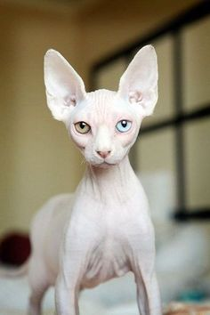 Sphynx Hairless Cat Breed Information and 30 Photos The Sphynx cat is a breed of cat known for its lack of coat (fur). The Sphynx was developed through Pretty Cats, Beautiful Cats, Animals Beautiful, Cute Animals, Animals Images, Rare Cat Breeds, Rare Cats, Breeds Of Cats, Hairless Cats For Sale