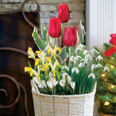 Holiday Delight Bulb Garden: Enjoy 5 Wirosa Tulips, 7 Purple Crocus, 5  Snowdrops, And 3 February Gold Daffodils! Send As A Single Gift Or As The  Fiu2026