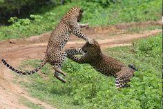 Leopard fight - Yala national park