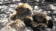 Image result for sea otters