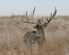 Trophy deer and atypical antlers Big Mule Deer Buck Big Game Hunting, Trophy Hunting, Hunting Season, Bow Hunting, Mule Deer Buck, Mule Deer Hunting, Big Deer, Bull Elk, Deer Pictures