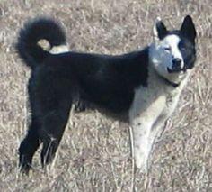 what a face! karelian bear dog   Karelian Bear Dogs
