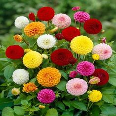 Bonsai Rare Yellow Orange Dahlia Seeds Chinese Flower Seeds Bonsai Plants for Garden / PACK This is an AliExpress affiliate pin. Locate the offer on AliExpress website simply by clicking the VISIT button Rare Flowers, Bulb Flowers, Colorful Flowers, Beautiful Flowers, Simply Beautiful, Dahlia Flower, Flower Pots, Flowers Perennials, Planting Flowers