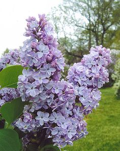 President Grevy Lilac (4m high, 3m wide)Double blue variety with starry florets on immense pannicles in May. An excellent cultivar. Very fragrant! Grows best in full sun. Canadale Nurseries Ltd.
