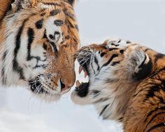 Siberian tiger / Tigre de l'amour Follow me https://www.facebook.com/pages/Maxime-Riendeau-Photo/502155946557921?ref=hl