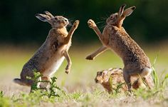 A pair of mad March hares square up for a boxing match in Tibenham, Norfolk. Picture: SIMON LITTEN/NEWSTEAM