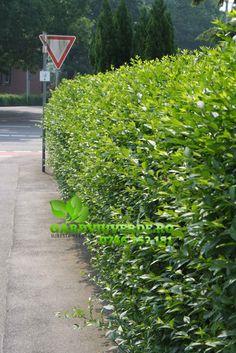 Galerie - Gard viu - Lemn Cainesc - Ligustrum ovalifolium Sidewalk, Green, Plant, Tree Structure, Nice Asses, Side Walkway, Walkway, Walkways, Pavement
