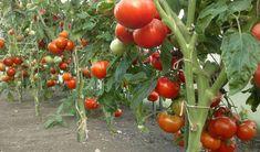 Copilirea roșiilor - Cu toții iubim roșiile și ele reprezintă cea mai bună masă, din perioada verii. Pline de vitamine și nutrienți, roșiile sunt originare din Anzi, fiind cultivate prima dată de azteci, în anii 700, înainte de Hristos. Copilirea roșiilor - Ce spune botanica Botanica ne spune, tot Aztec, The Secret, Vegetables, Garden, Food, Graphic Design, Vegetable Gardening, Ideas, Plant