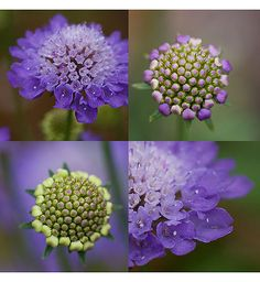 Scabiosa, also known as pincushion.  Available in soft pink and pale lavender.