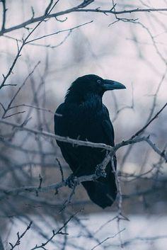 Фотография Gothic Aesthetic, Witch Aesthetic, Character Aesthetic, Corvo Tattoo, Raven Photography, Raven Bird, Crow Bird, Gothic Fantasy Art, Crows Ravens