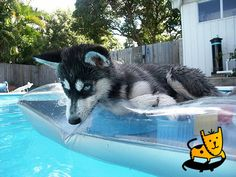 HUSKY PUPPIES VS KITTENS FUNNY | Cute and Funny Pet Photos of Dogs, Cats, Kittens, Puppies and other ...