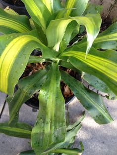 Corn Stalk Dracaena (dracaena fragrans): Your plants appears to be a popular houseplant/tropical plant that thrives in well-drained soil in bright, indirect light indoors or filtered light outdoors. Prized for its corn stalk-like foliage and growth habit. Water when the soil feels dry down to your first knuckle and feed with a slow release fertilizer formulated for container plants. Outdoors provide partial shade. Does not tolerate frost conditions.   Yours is a variegated variety.