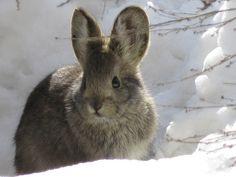 Pygmy Rabbits: The Cutest Threatened WA Residents Creative Commons Photos, Jack Rabbit, Honey Bunny, Mammals, Dog Cat, Cute Animals, Wildlife, Creatures, Pets