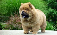 Scarica sfondi cani, chow-chow, cucciolo, carino animali