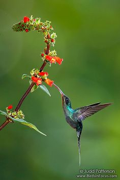 Green Hermit by Judd Patterson, via Flickr.  One of the beautiful hummingbirds from my trip last fall to Costa Rica.