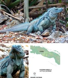 The Grand Cayman Blue Iguana Cyclura Lewisi Is A Critically Endangered Species Of Lizard Endemic To Island