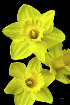 Daffodils Art Print by Christina Rollo.  All prints are professionally printed, packaged, and shipped within 3 - 4 business days. Choose from multiple sizes and hundreds of frame and mat options.