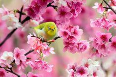 green bird sparrow cherry flowers spring japan photo hd widescreen