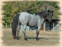 http://hollowayquarterhorses.com/hollowaypics/studcolt2.jpg