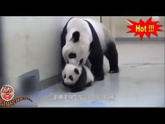 Adorable Panda Mother Fled Outing *** Animal Video Sounds For Kids *** A. Animal Video, Animals For Kids, Panda, Funny, Dogs, Doggies, Funny Parenting, Pandas, Dog