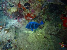 This Blue Tang (Acanthurus Coeruleus), is a nice and vibrant coloured fish you can see in the Dominican Republic. Diving is life & colour! Blue Tang, Colorful Fish, Color Of Life, Dominican Republic, Diving, Vibrant, Colour, Pets, Nice