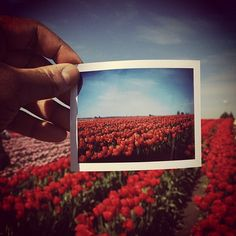 tulip town. fuji film in a polaroid camera.