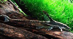 Whiptail Catfish (Sturisoma festivum)
