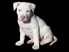 Cómo es un Pit Bull Terrier - http://www.mundoperros.es/como-es-un-pit-bull-terrier/