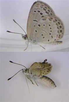 This handout photo, released Tuesday, shows a healthy adult pale grass blue butterfly (top) and a mutated variety (bottom). Severe mutations were found in butterflies collected near Japan's Fukushima Daiichi nuclear power plant.