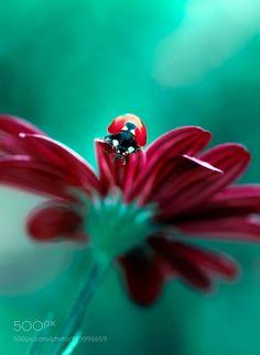 Ladybug by Blackdiamond67 #nature #photooftheday #amazing #picoftheday