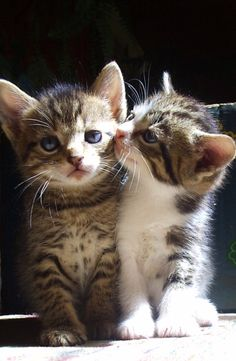 These two little cutie pies look very much like my two young guys, Kirk and Spock.  Love me some kitties,  <3~R~<3