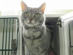 WILLA - A1120777 is just one of many adoptable NYC cats that are on the high risk list of being destroyed. Please repin.