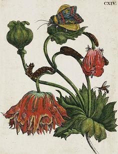 1679 Maria Sibylla Merian (German naturalist, scientific illustrator, 1647-1717) ~ Raupen Wunderbare Verwandelung und Sonderbare Blumennahrun [The Caterpillar's Miraculous Transformation and Strange Flower