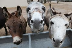 Sidmouth Donkey Sanctuary in England-- I loved this place! Baby Donkey, Cute Donkey, Mini Donkey, Farm Animals, Animals And Pets, Cute Animals, Beautiful Creatures, Animals Beautiful, Male Horse