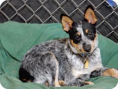 Australian Cattle Dog Puppy for adoption in Remus, Michigan - Maxwell