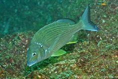 Acanthopagrus australis