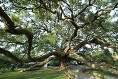 Angel Oak, S Carolina