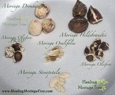 moringa oleifera seeds - Google Search